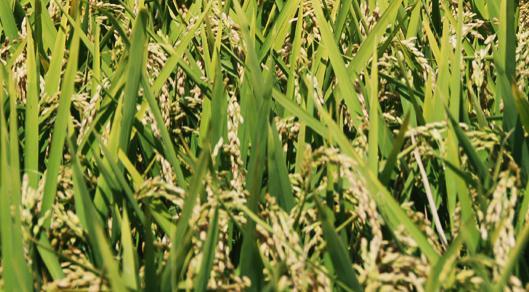 Поръчка Сортиране и събиране на ориз