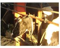Поръчка Монтаж на доилни инсталации за крави
