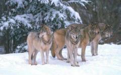 Лов на вълци