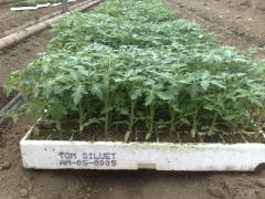 Производство на зеленчуков разсад - домати,