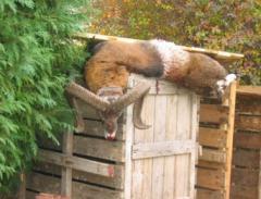 АРАМЛИЕЦ ,благороден елен, дива свиня, муфлон,