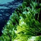 Дълбоко подхранване с водорасли