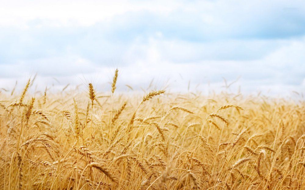 processing_paddy_rice_and_wheat