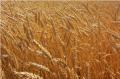 Зърнени и маслодайни култури