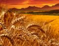 Окачествяване на пшеница